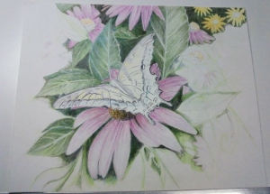 Butterfly in progress 101 Copyright © 2009 Michael and Sandra Schwab. Colored pencil artwork taken from photo, Elkhorn, WI. June 2008.