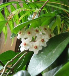 Hoya Wax Plant April 09