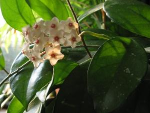 Hoya-Wax Plant 2nd bloom April 2009