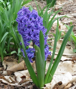 hyacinth090604