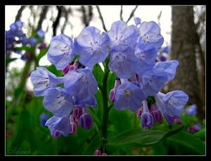 Virginia Bluebells, April 2009