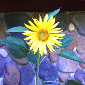 Sunflower at my Doorstep